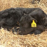First Calf Of The Year