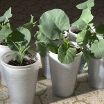 Broccoli & Cauliflower Planting