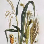 Planting Field Corn