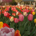 Tulip Time