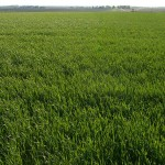 Winter Wheat Update – June 14