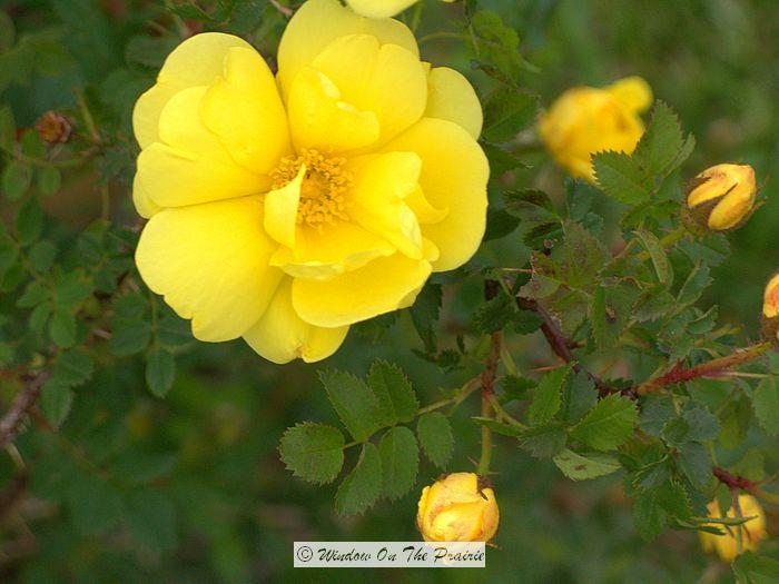 Harison s Yellow Rose