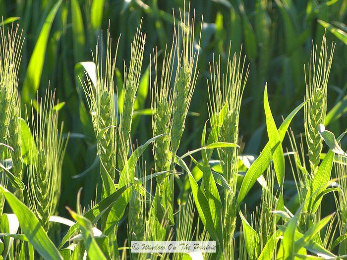 Winter Wheat Update May 17 171 Window On The Prairie