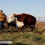 Cattle Round Up - Part 2