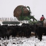 Feeding Hay To The Cattle