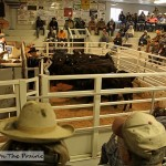 Cattle Auction