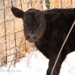 First Calf Of 2011