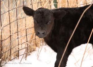 calf061