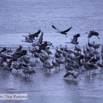 Sandhill Cranes On The Platte River