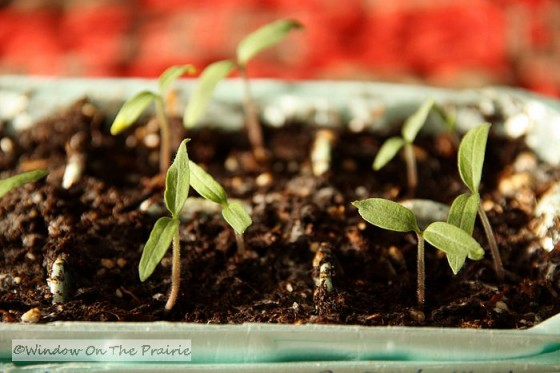 Tomato Plants Coming Up From Seed 171 Window On The Prairie