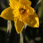 Daffodils and Forsythia