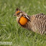 Prairie Chickens – Part 1