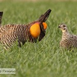 Prairie Chickens – Part 2