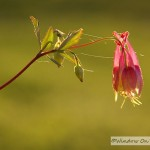 Red Columbine
