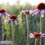 Wildflowers of the Prairie