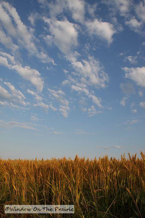 Ripening Wheat 171 Window On The Prairie