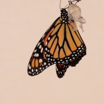 A Monarch Butterfly Is Born
