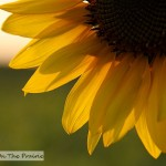Flowers of Sunshine