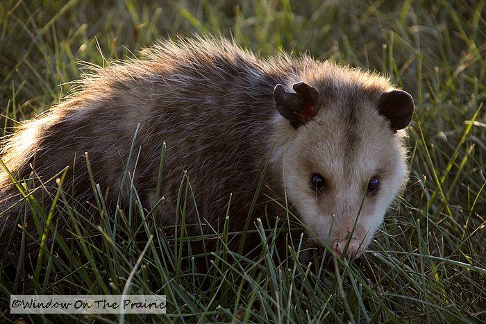 Opossum Kansas So I got down on the ground at