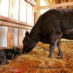 Eunice Has Her Calf