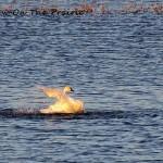 Trumpeter Swans Bathing