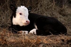 new_calf07