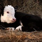 Video Of Cutest Calf Ever