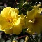 Oregon Trail Rose