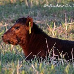 Hazel's Calf Goes To The Vet