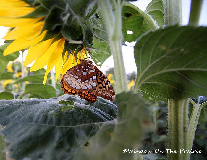 sunflower field kansas