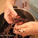 Picking Elderberries