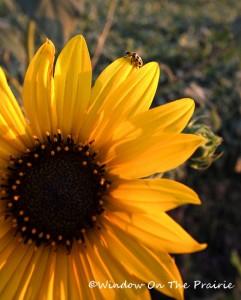 Sunflower031