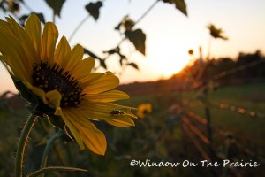 Sunflower08