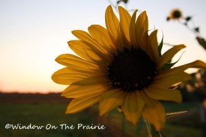Sunflower09