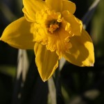  Spring Daffodils
