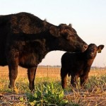  Our COW and CALF Stories