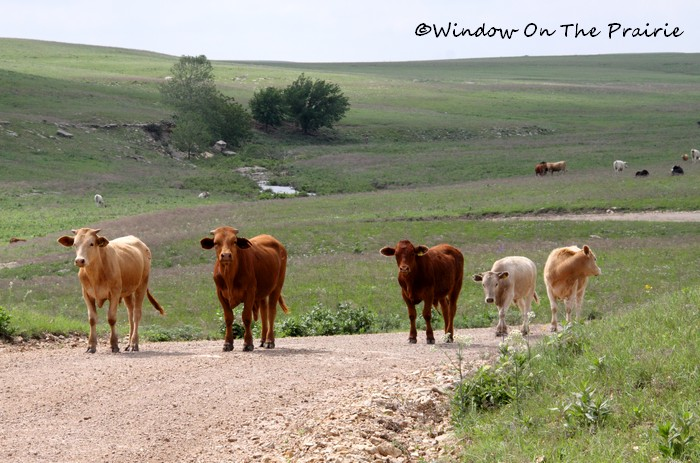 Cattle in the road. Here they have the right of way.