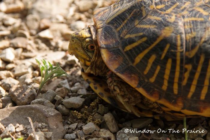 Orante Box Turtle