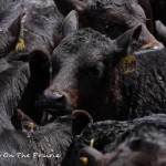 Spring Cattle Move - Part 2