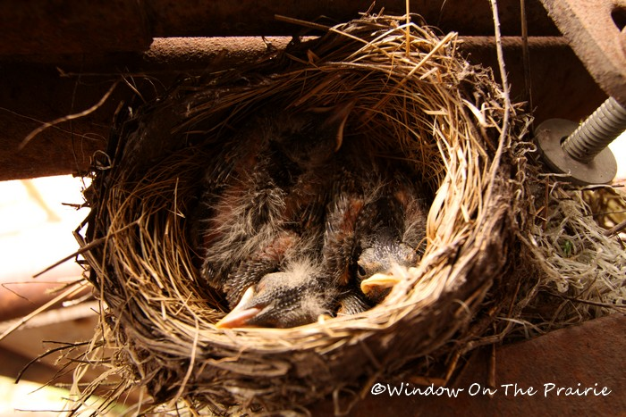 Baby_Robins02