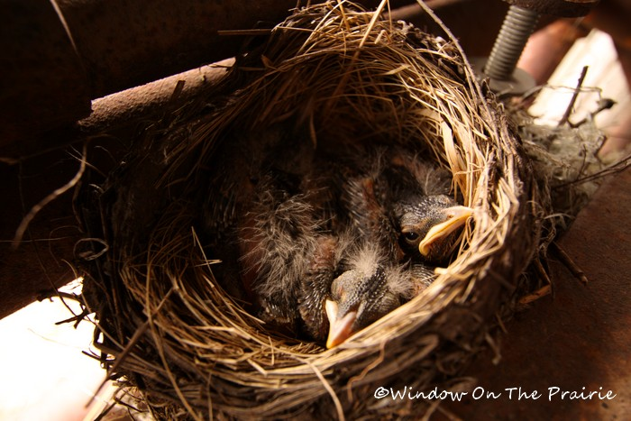 Baby_Robins03