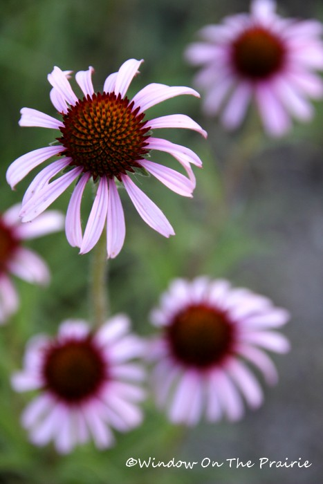 BLACK SAMPSON ECHINACEA