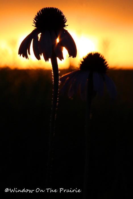 Prairie_Flowers16