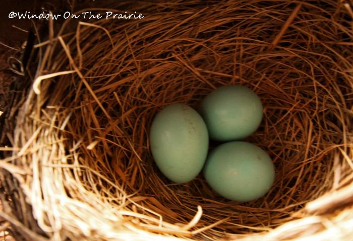 Robin_Nest (2)