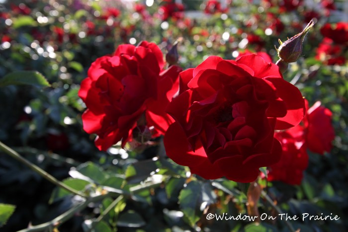 Rose_Garden01