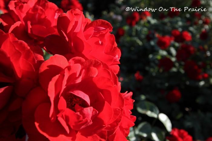 Rose_Garden03