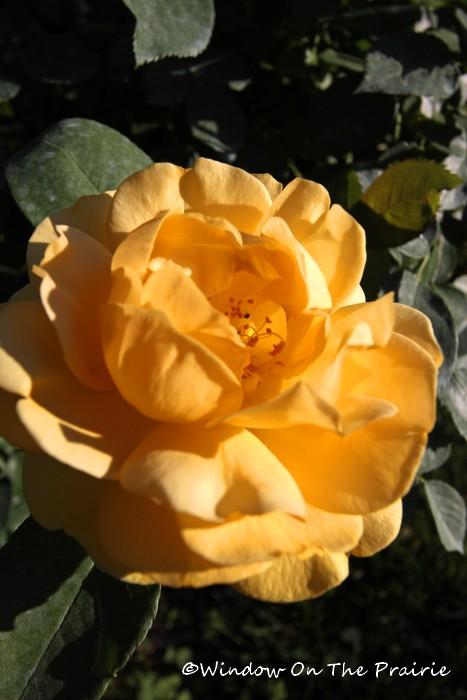Rose_Garden04
