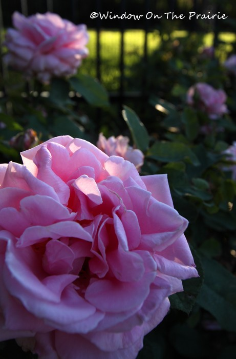 Rose_Garden10