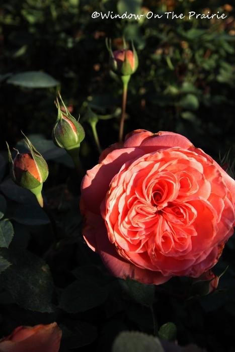 Rose_Garden12