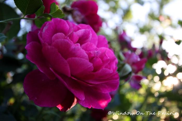 Rose_Garden13